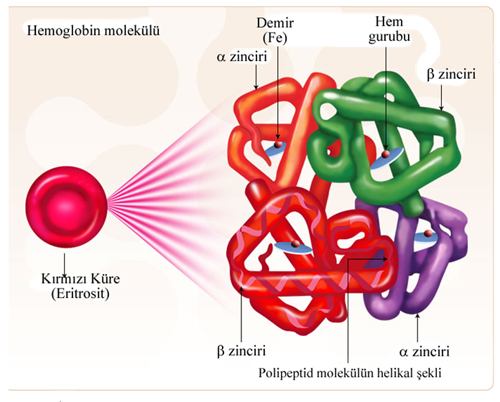 kan hücreleri ile ilgili görsel sonucu